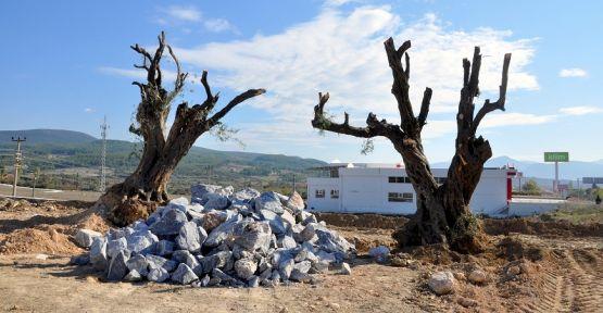 Tarihe tanıklık eden zeytin ağaçları, parkta sergilenecek