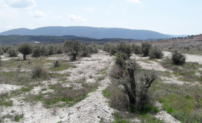 Eskihisarlılar, sahipsiz zeytin ağaçlarına talip oldu