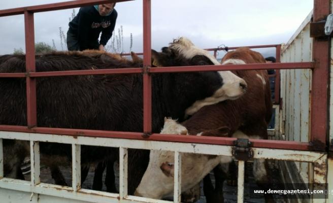 Genç Çiftçi Projesi ile büyükbaş hayvan dağıtıldı