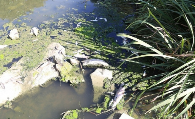 Yatağan Çayı'nda yüzlerce ölü balık kıyaya vurdu