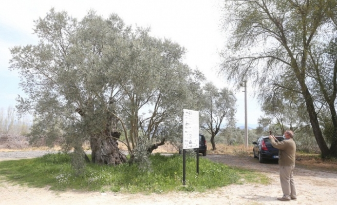 Lagina'nın konuklarını, 2000 bin yıllık zeytin ağacı karşılıyor