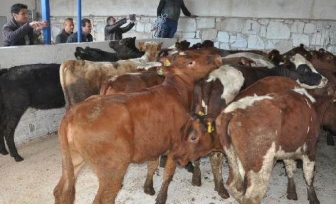Genç çiftçiye 30 bin liralık Şili'den ithal büyükbaş desteği
