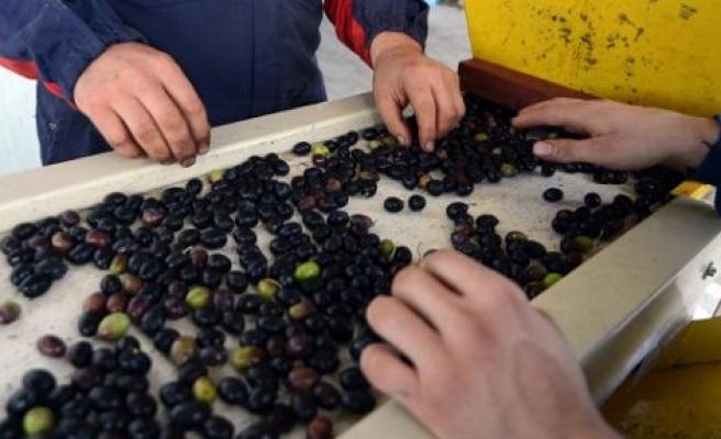 Sofraları süsleyen değil, insan sağlığını koruyan zeytinyağı
