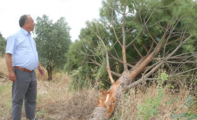 Yol Çalışmasına Ağaç Katliamı Tepkisi
