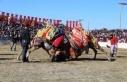 Yatağan arena doldu taştı: 190 devenin güreşini...