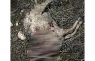 Kurt saldırısında 5 koyun telef oldu