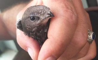 Yerde nadir görülen Ebabil kuşu bulundu