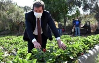 Çilek Projesi Ailelere Geçim Kaynağı Oluyor, Bölgeye İstihdam Sağlıyor